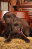 Portrait of two cute labrador puppies on the chair Stock Images