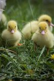 Portrait of two cute little yellow baby fluffy muscovy duckling close up royalty free stock photography