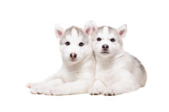 Portrait of two cute puppies breed husky Stock Photo