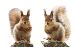 Portrait of two cute red squirrel with fluffy fur and tail on a Stock Photo
