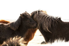 Portrait of two dark Icelandic ponies Stock Photos