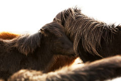 Portrait of two dark Icelandic ponies Royalty Free Stock Photo