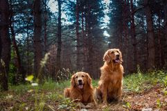 Portrait of a two  dogs Stock Images
