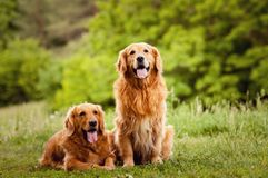 Portrait of a two  dogs Stock Photography