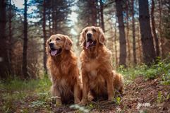 Portrait of a two  dogs Stock Image