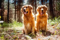 Portrait of a two  dogs Royalty Free Stock Image