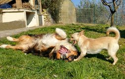 Portrait of two dogs playing together in the green meadow royalty free stock image