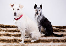Portrait of two dogs Royalty Free Stock Image