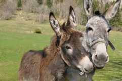 Portrait of two donkeys Royalty Free Stock Images