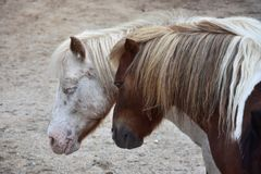 Portrait of two dozing ponies royalty free stock photos