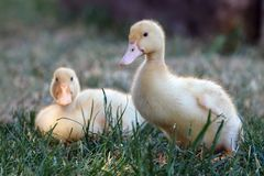 Portrait of two ducklings royalty free stock photography