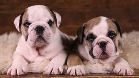 Portrait of two English Bulldog puppies. Portrait of two six weeks old English Bulldog puppies indoors stock video
