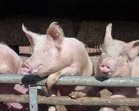 Portrait of two enthousiastic pigs Royalty Free Stock Photography