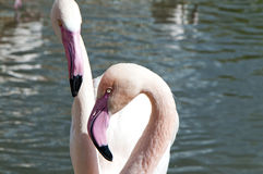 Portrait of two flamingos Royalty Free Stock Images
