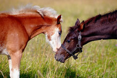 Portrait of two foals. Stock Photography