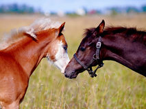 Portrait of two foals on a meadow. Royalty Free Stock Photography