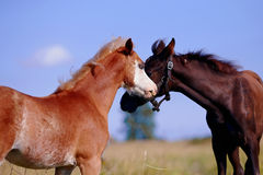 Portrait of two foals on a pasture. Stock Image