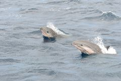 Dolphin watching. Portrait of two Fraser dolphins jumping out of the water stock photography