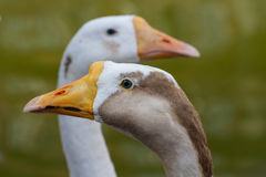Portrait of two geese Stock Images