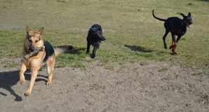 Portrait of two German shepherds and a Doberman running Royalty Free Stock Images