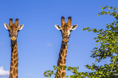 Portrait of two giraffes in the bush in Kruger Park, South Africa. Portrait of two wild giraffes standing in Kruger Park, South Africa Stock Photo