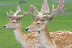 Portrait of two gracious deers Royalty Free Stock Image