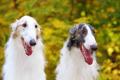 Portrait of a two greyhound dogs Stock Images
