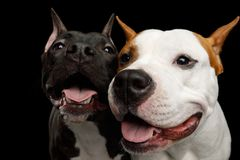 Two American Staffordshire Terrier Dogs Isolated on Black Background. Portrait of Two Happy American Staffordshire Terrier Dogs Stare in Camera and smiling on royalty free stock photo
