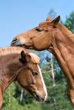 Portrait of two horses Stock Photos