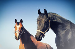 Portrait of two horses against blue sky Royalty Free Stock Photo