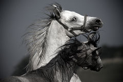 Portrait of two horses Royalty Free Stock Photography