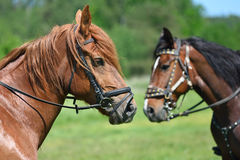 Portrait of two horses Royalty Free Stock Images