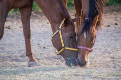 Portrait of two horses. Portrait of two beautiful horses eating Stock Images