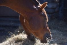 Portrait of two horses chewing hay in a stall royalty free stock images