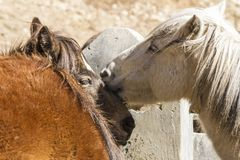 Portrait of two horses. Close up image. Nepal, Himalayas royalty free stock images