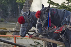 Portrait of two horses  in harness, Borovetz resort Stock Image