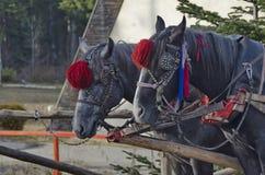 Portrait of two horses  in harness, Borovetz resort Stock Image