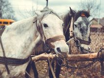 Portrait of two horses in profile close-up stock photo