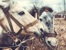 Portrait of two horses in profile close-up stock image