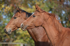 Portrait of two horses on pasturage