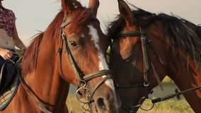 Portrait of two horses in summer near the lake. Portrait of two horses in summer on a background of lake. Two horse portrait close-up in love. Horse connection stock video footage