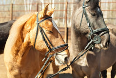 Portrait of two horses Stock Photography