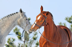 Portrait of two horses in winter Stock Images