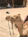 Portrait of a two-humped yellow desert beautiful camel, a desert ship in profile on sand in Egypt stock images