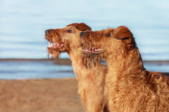 Portrait of two Irish Terriers next closeup. Summer. Portrait of two Irish Terriers next closeup stock images