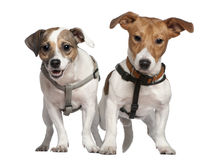 Portrait of two Jack Russell terriers, 2 years old Stock Photos