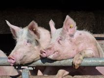 A portrait of two juvenile pigs Stock Photo