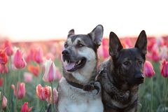 Black and a grey Kunming wolfdogs posing on a tulip field at sunrise stock images