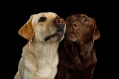 Beautiful Labrador retriever dog in front of isolated black background Stock Images