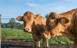 Portrait of two light brown cows Stock Image